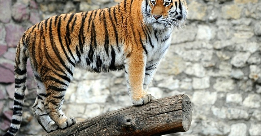 Aircel Join Hands With Kids in Mumbai To Save Tigers